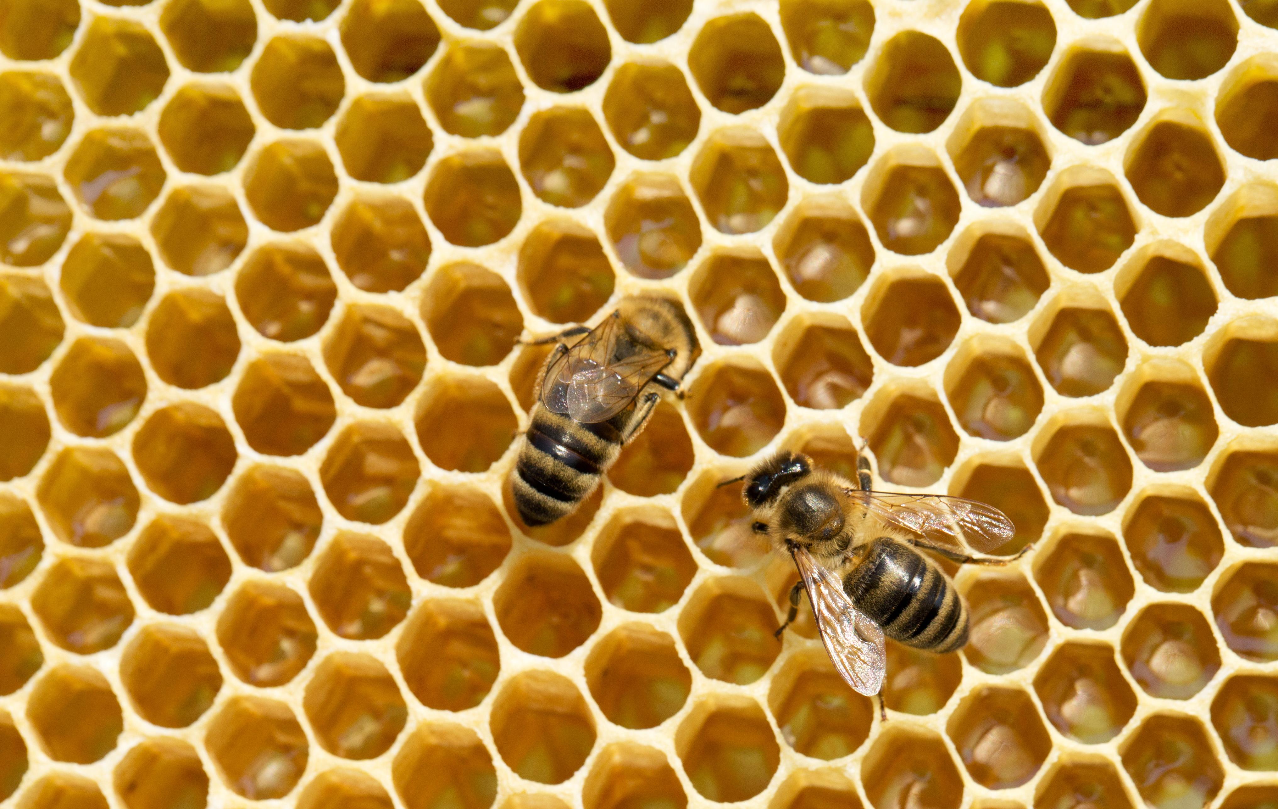 Honningbi bier