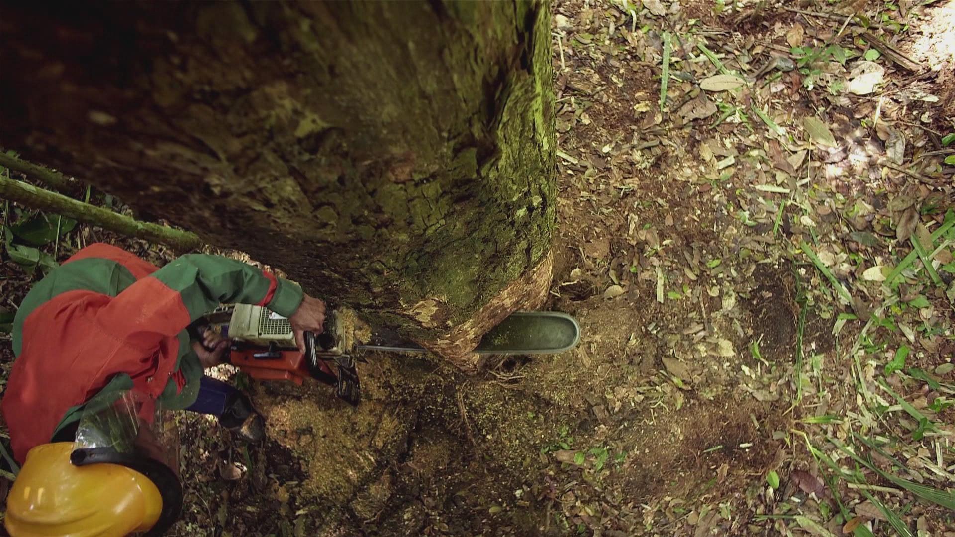 Træerne i Amazonas venter også på COP21 | Udland | DR