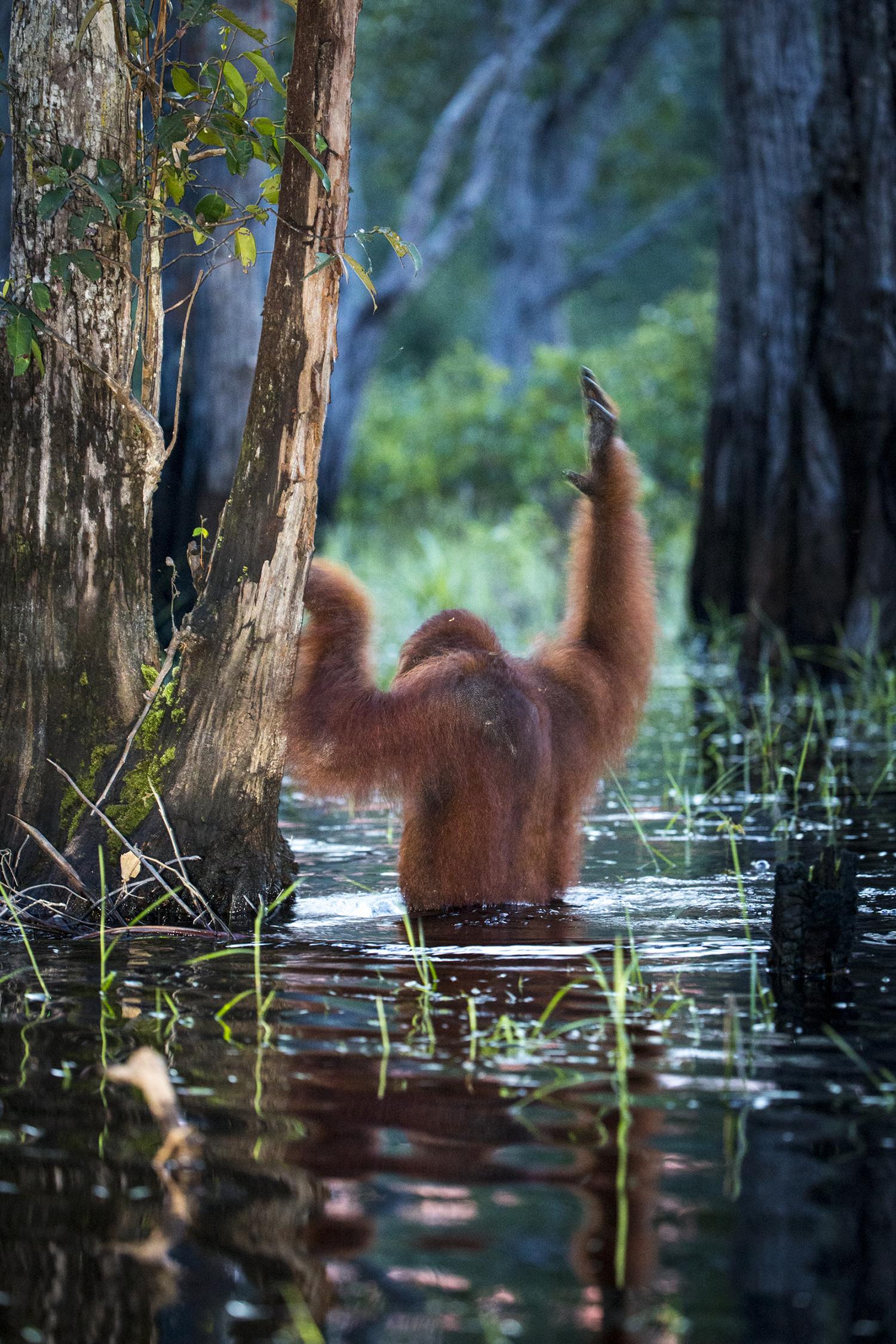 02_orangutan_borneo_01.jpg