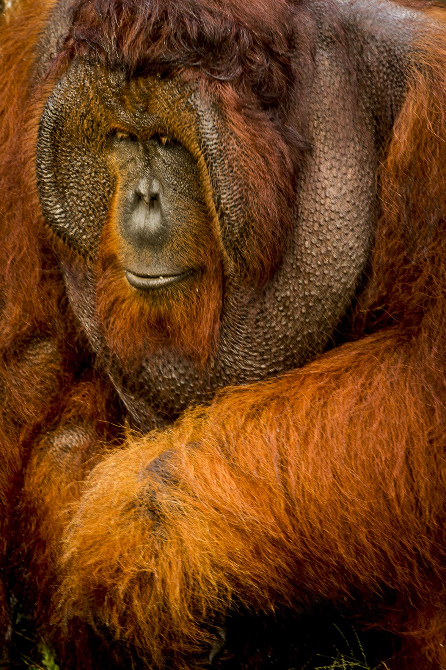 03_orangutan_borneo_02.jpg