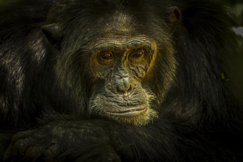 08_chimpanse_uganda_01.jpg