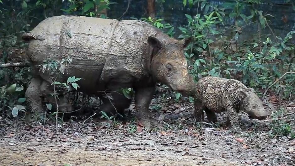Sumatranæsehorn