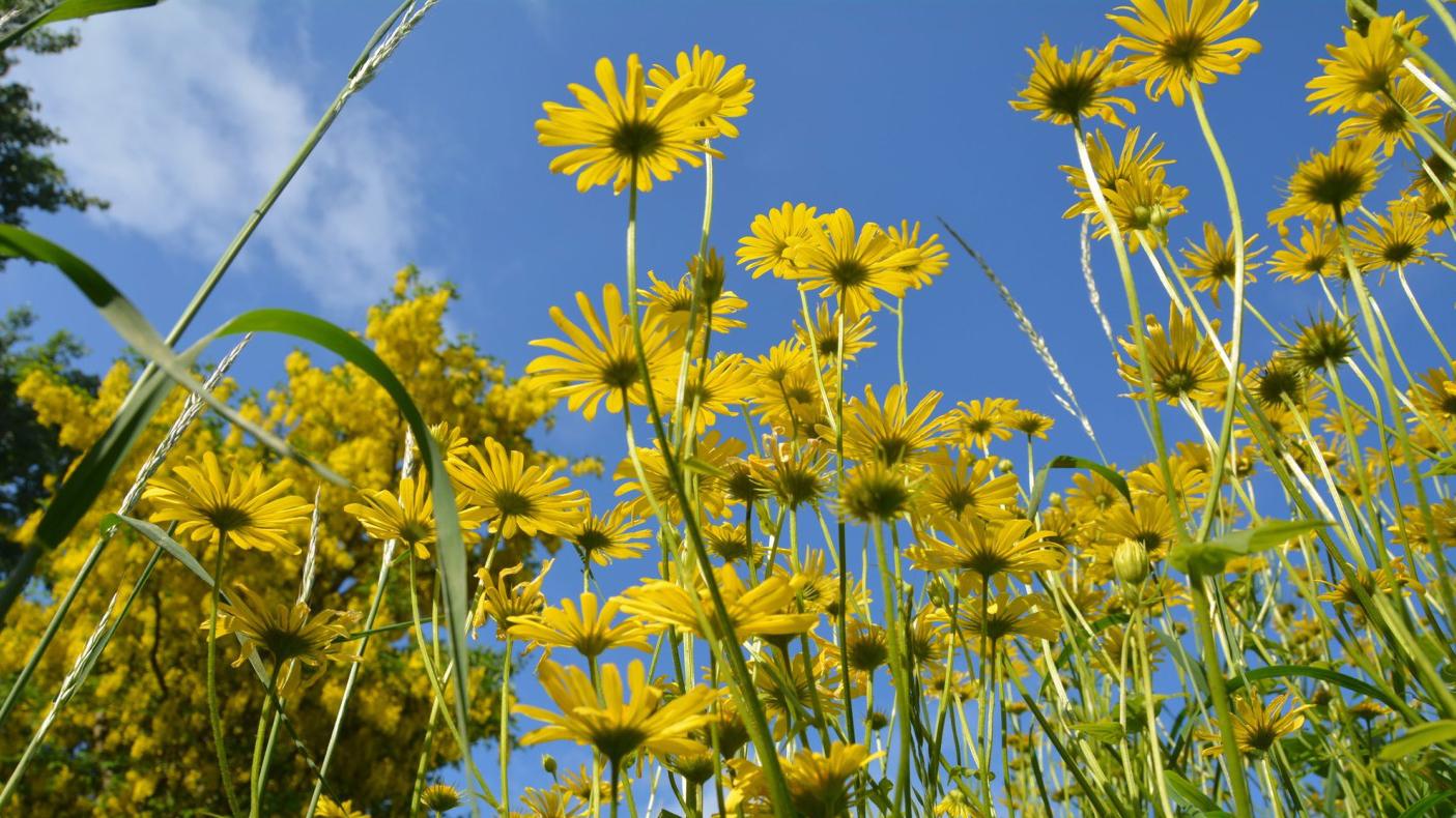 Gule blomster og blå himmel