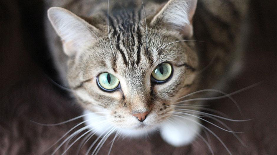 Gråstribet kat