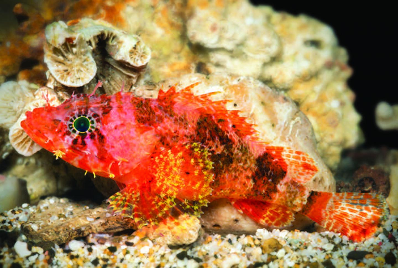 Nyopdaget dragehovedfisk