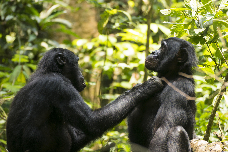 bonobo_langsynet.jpg