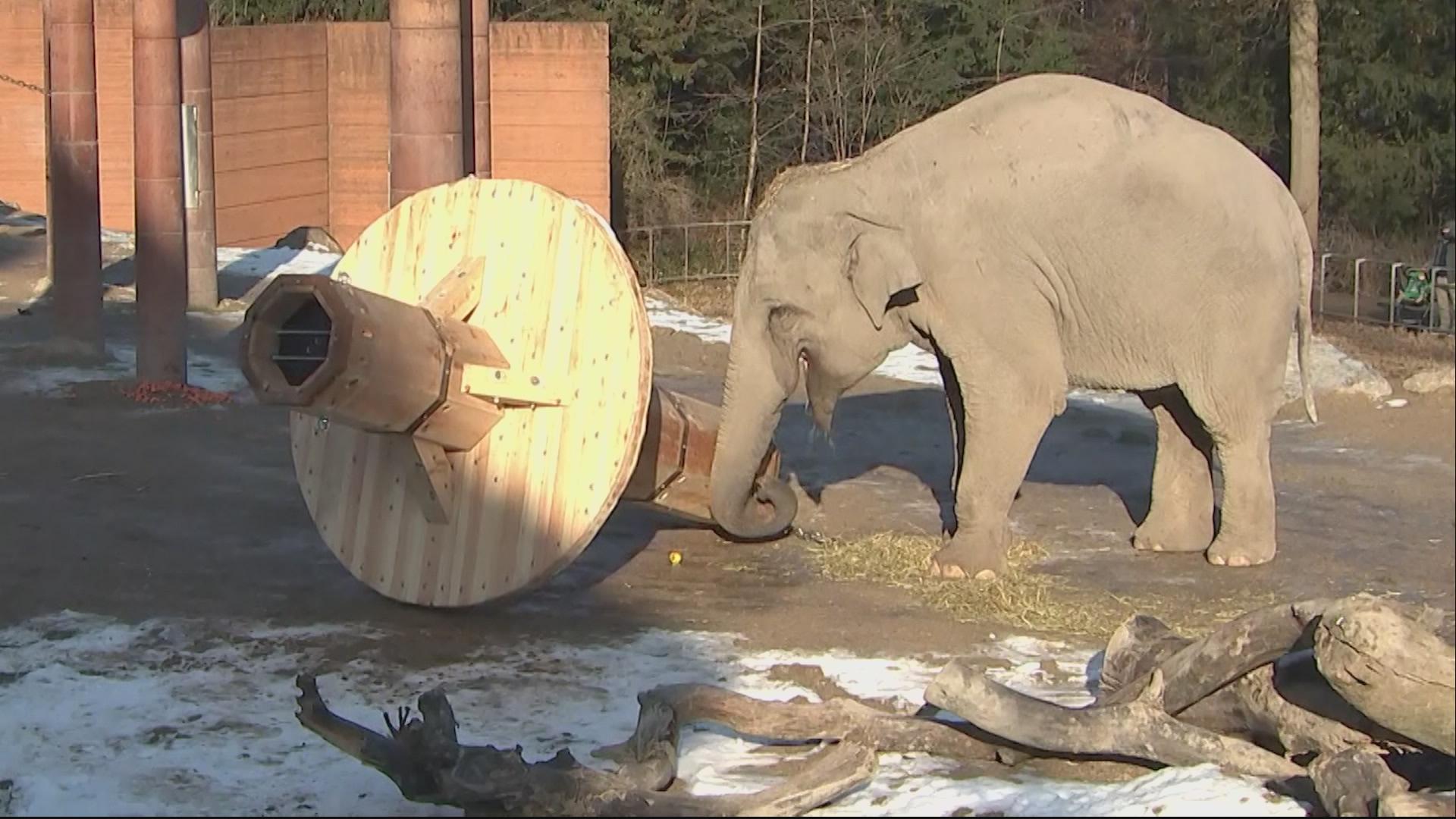 elefanter_zoo_kaempe_feeder_billede_drdkrjpo_00000011.jpeg