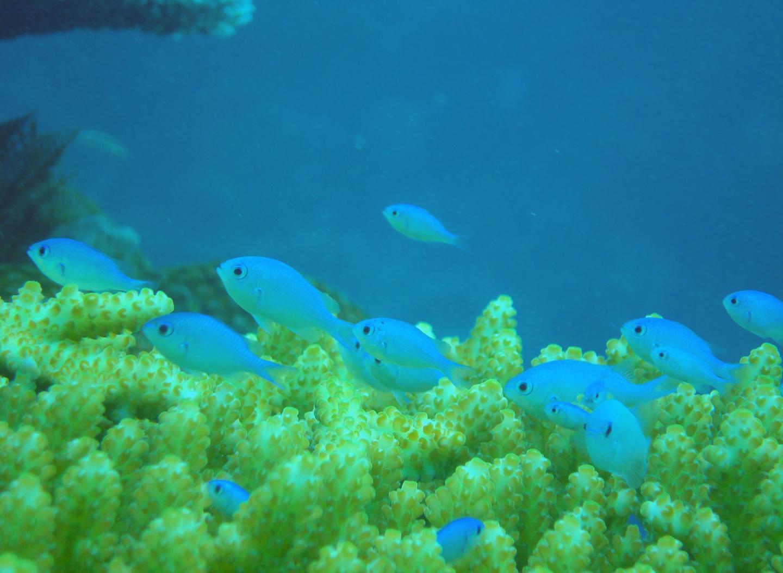 koralfisk-damselfish_chromis.jpg
