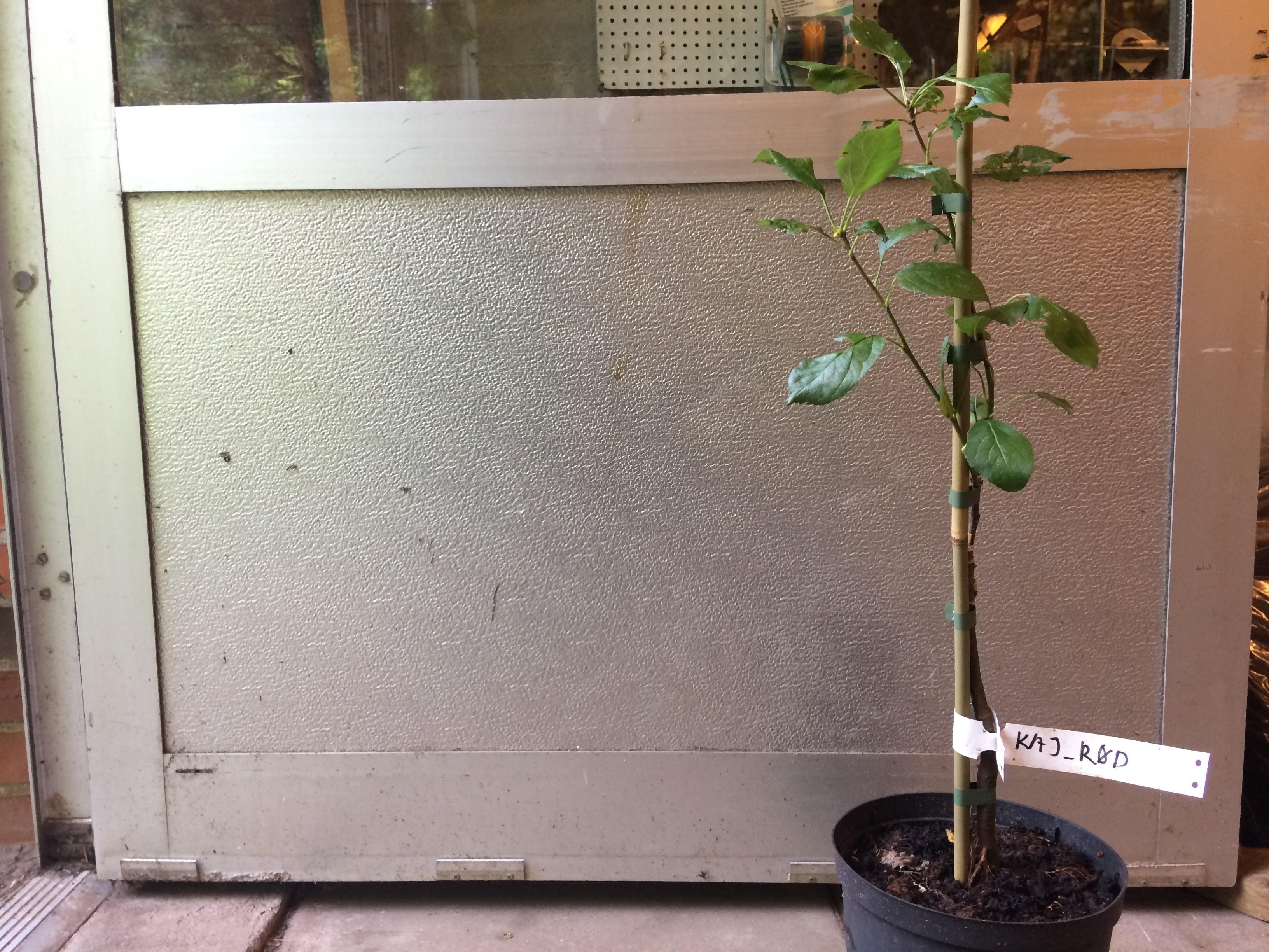kajtræ