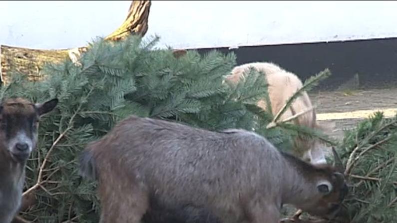 Ged spiser juletræ i Jyllands Park Zoo