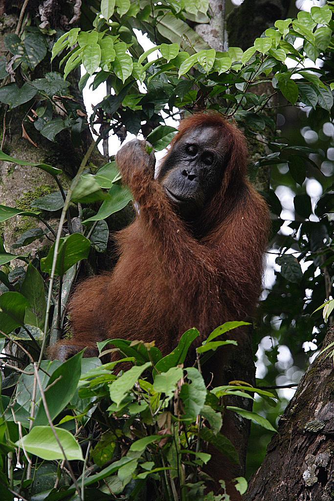 orangutang2_0.jpg