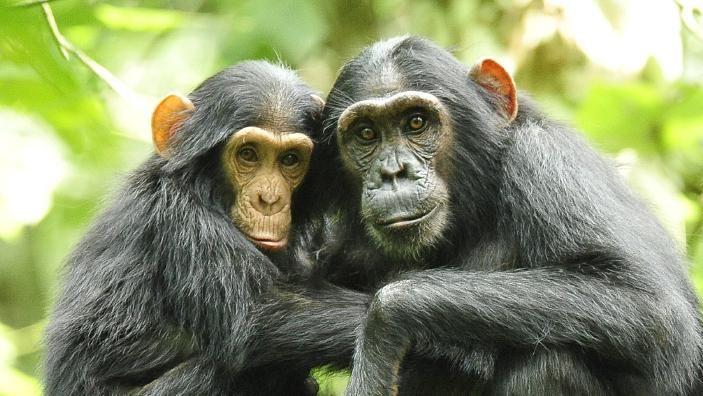 chimpanzees_in_uganda_5984913059.jpg