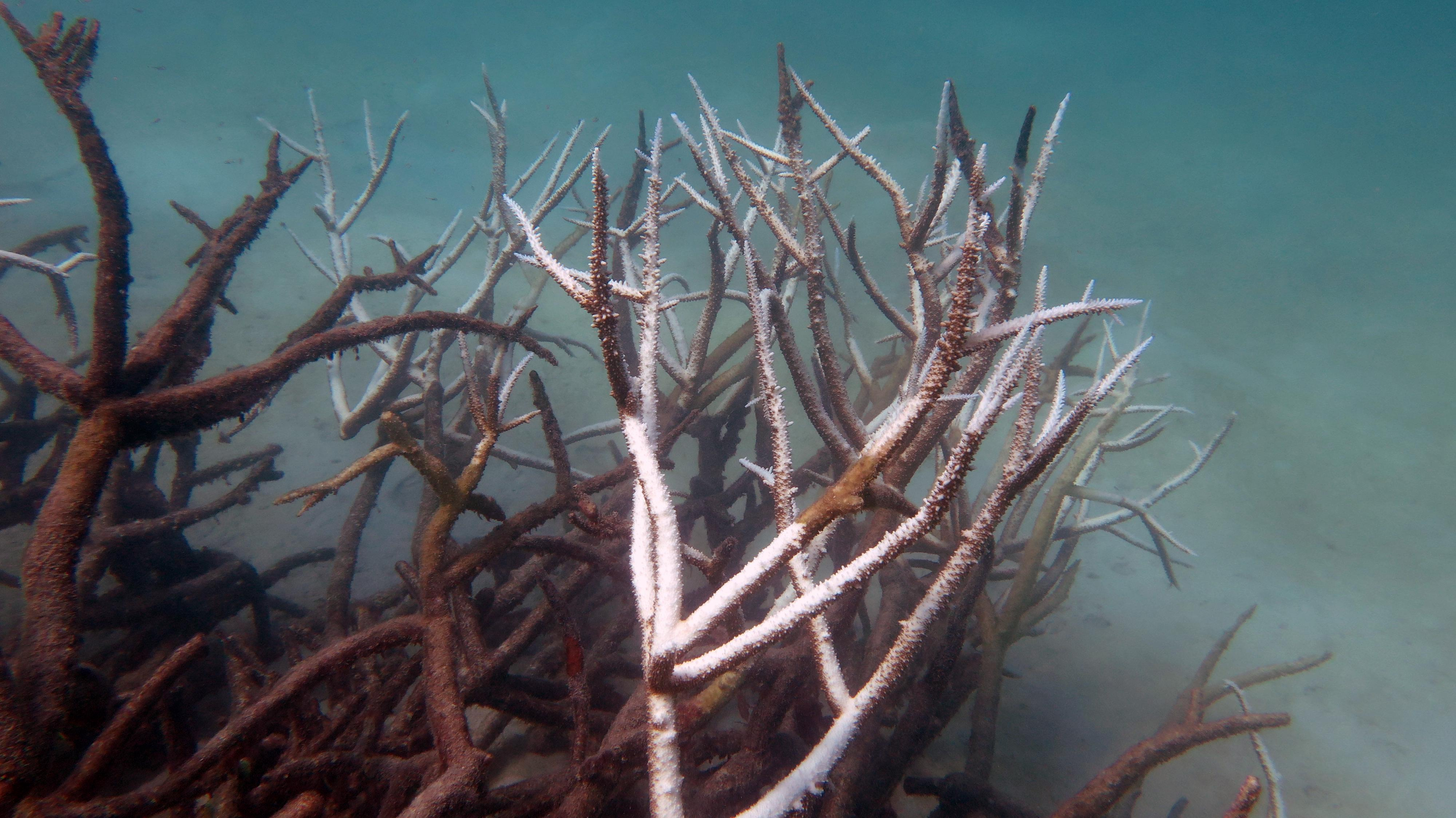 dead_and_dying_staghorn_coral_may_2016_johanna_leonhardt.jpg