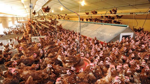 kyllinger.jpg