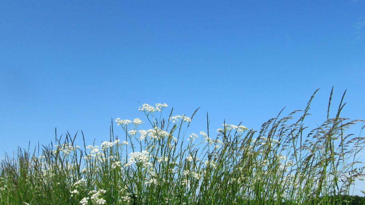 Blå himmel med hvide blomster