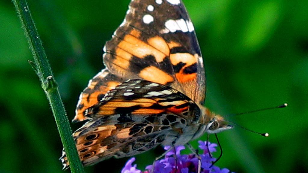 butterfly_0072.jpg