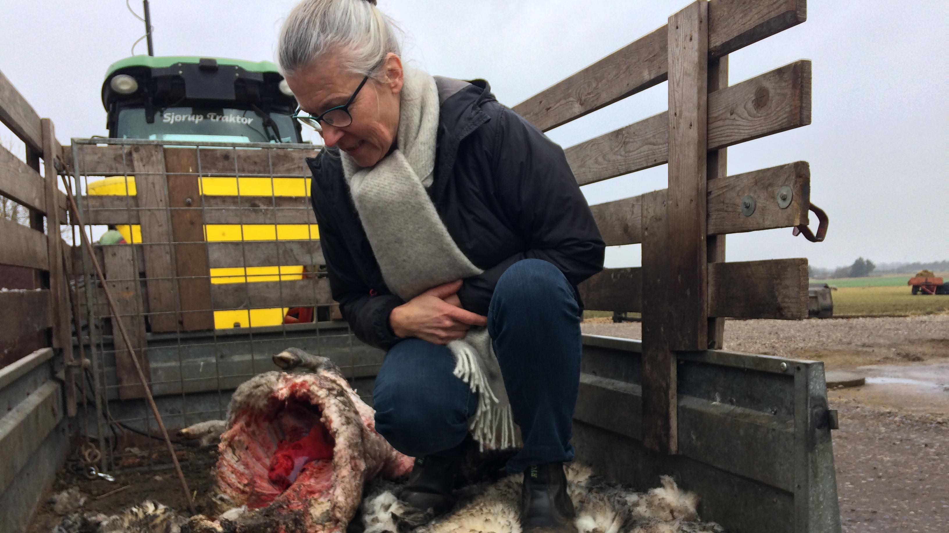 Åse Svendsen - ulveangreb