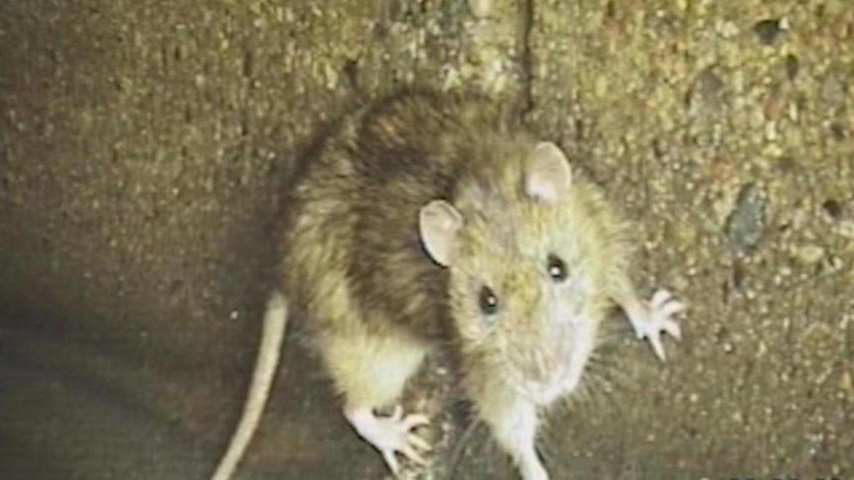 rotter i kloak forsikring