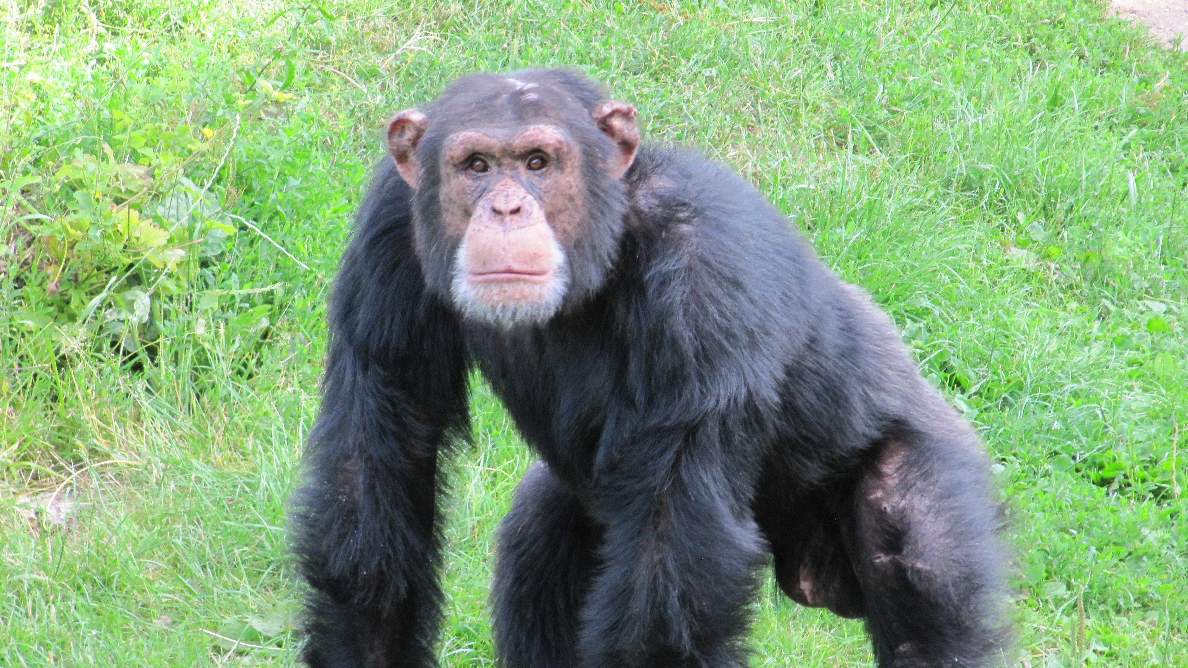 chimpansen_ricardo_fra_odense_zoo_foto_odense_zoo.jpg