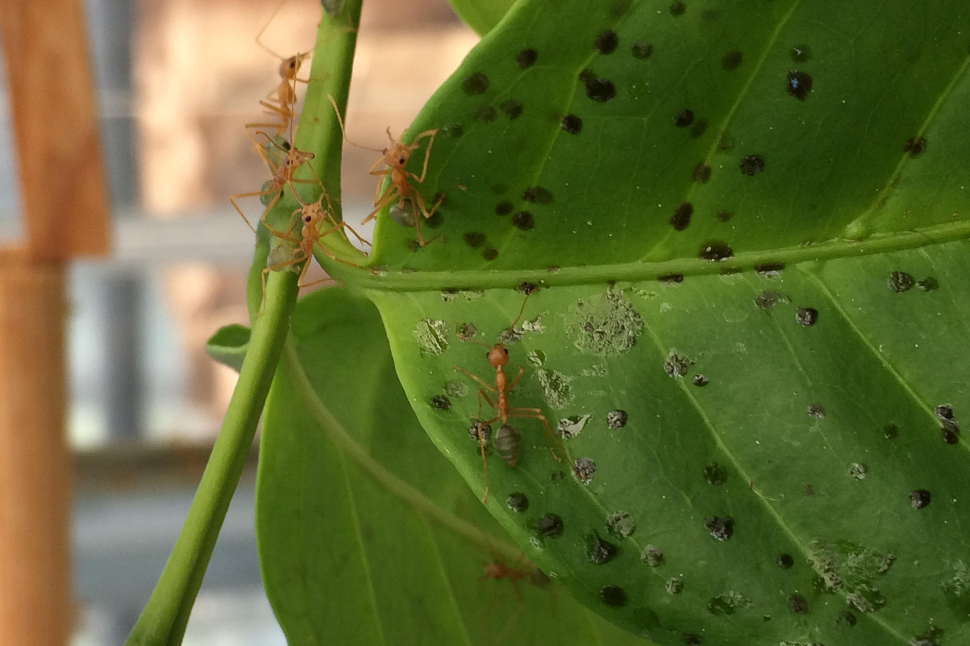 Vævermyre på kaffeplante