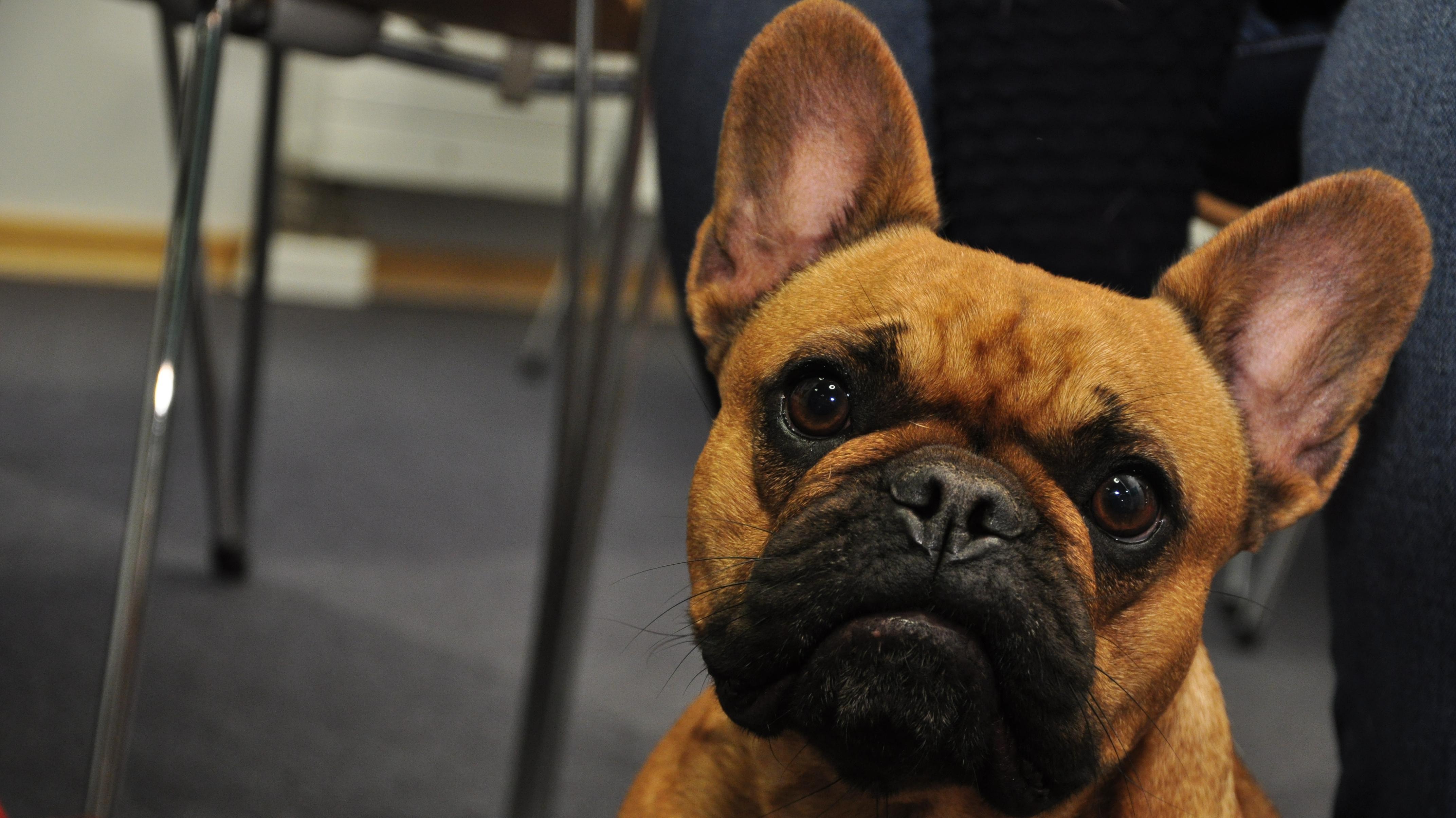 Maddie, fransk bulldog