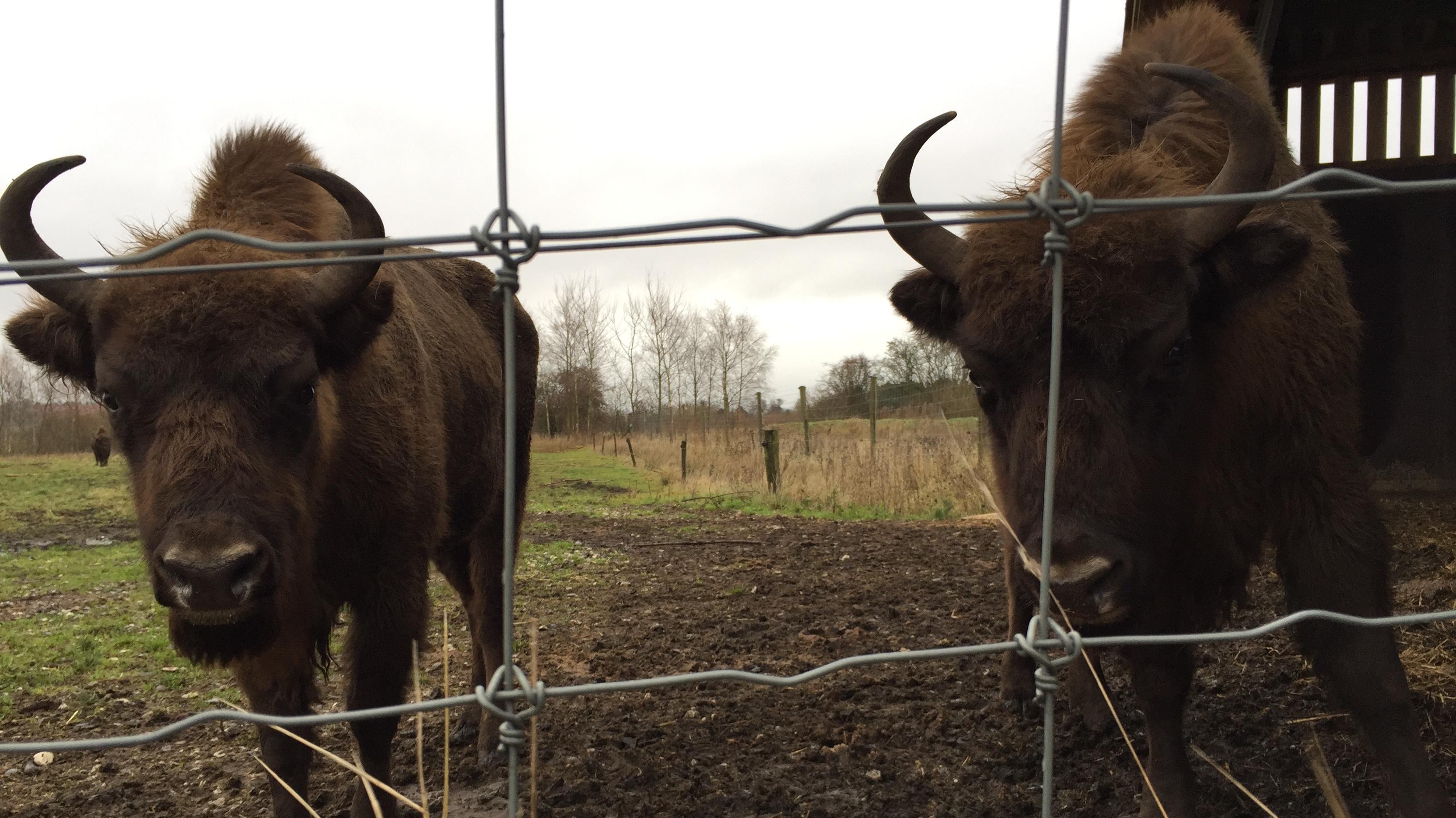 bison på Vorup Enge