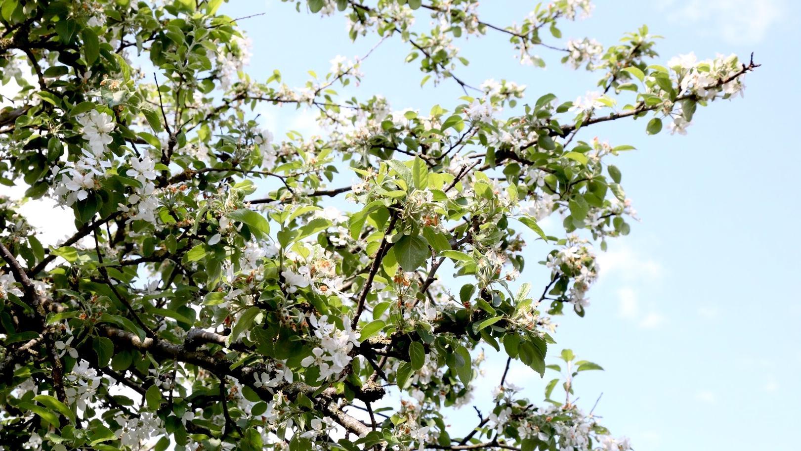 Blomstrende æbletræ