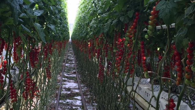 tomat7.jpg