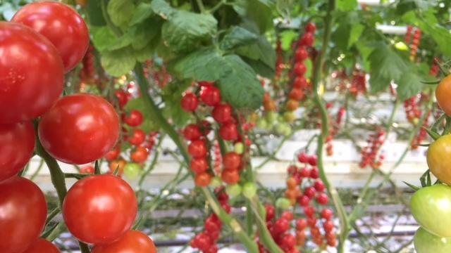 tomat8.jpg