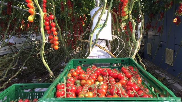 tomat4.jpg