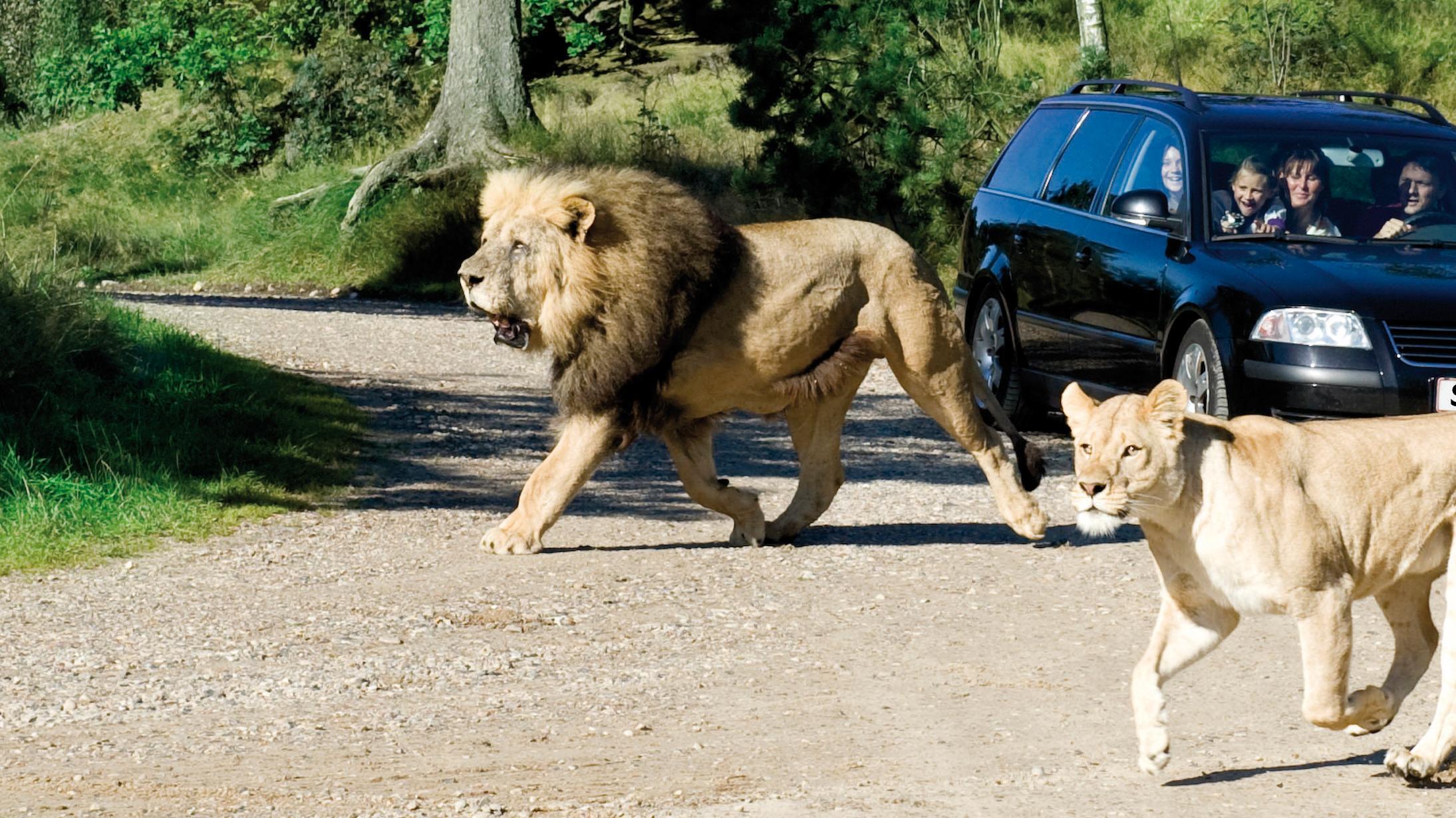 givskudzoo_safari_car_lions_a_rgb.jpg