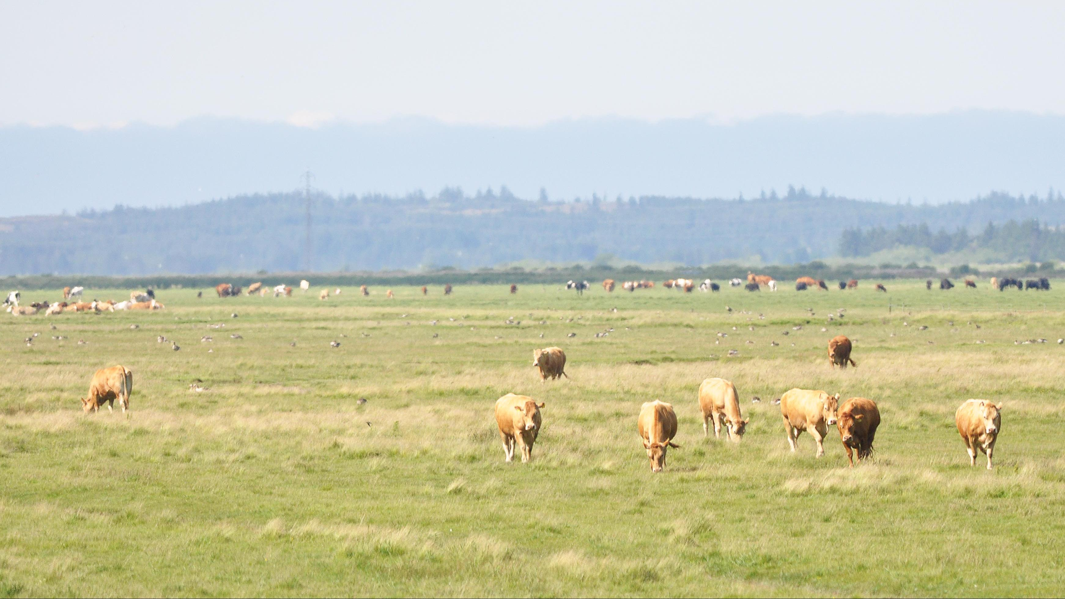 Kvæg, Vejlerne, kødkvæg, køer
