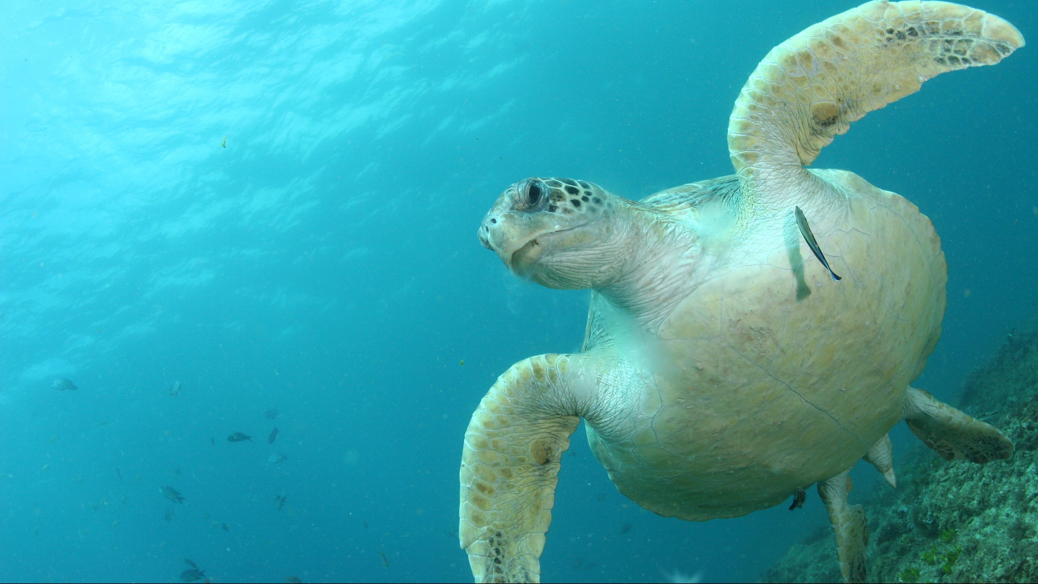 green_turtle_at_north_stradbroke_island_by_kathy_townsend.jpg