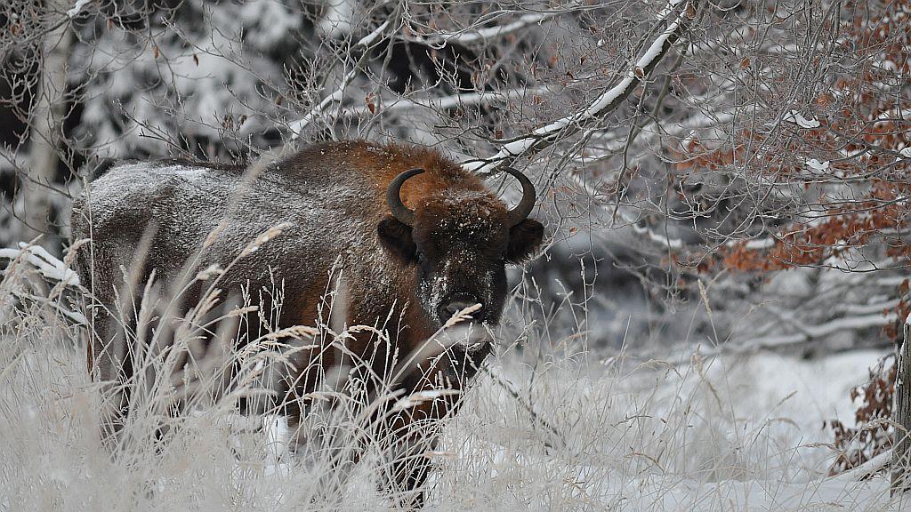bison_ko.jpg