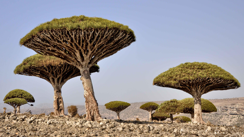 Drageblodstræ - Sucotra