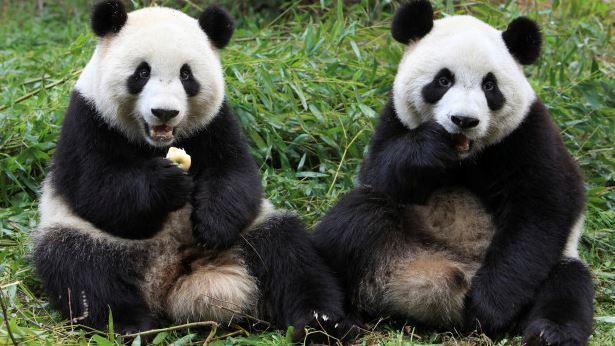 pandaer.jpg