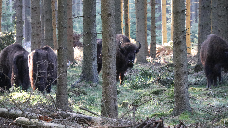 bison_artikel.jpg