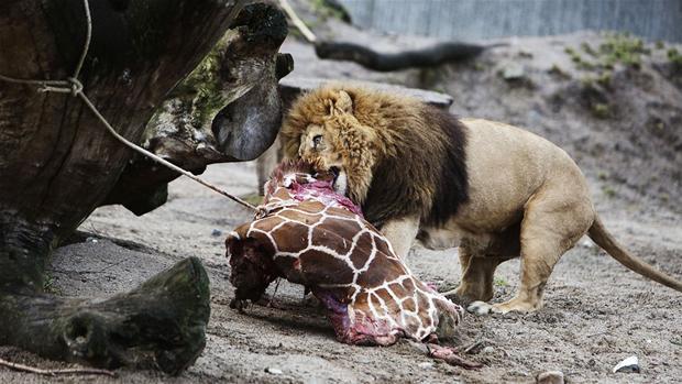 Engelsk Zoo afliver seks løver - af samme årsag som