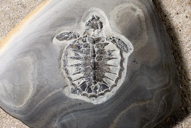 moler_fossil.jpg