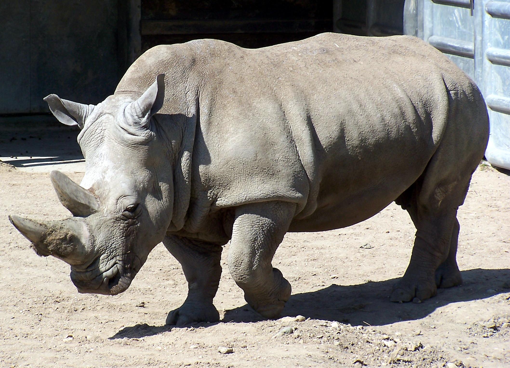 Ray vil redde næsehornene fra at uddø: Ingen dyr minder så meget om dinosaurer | Udland | DR