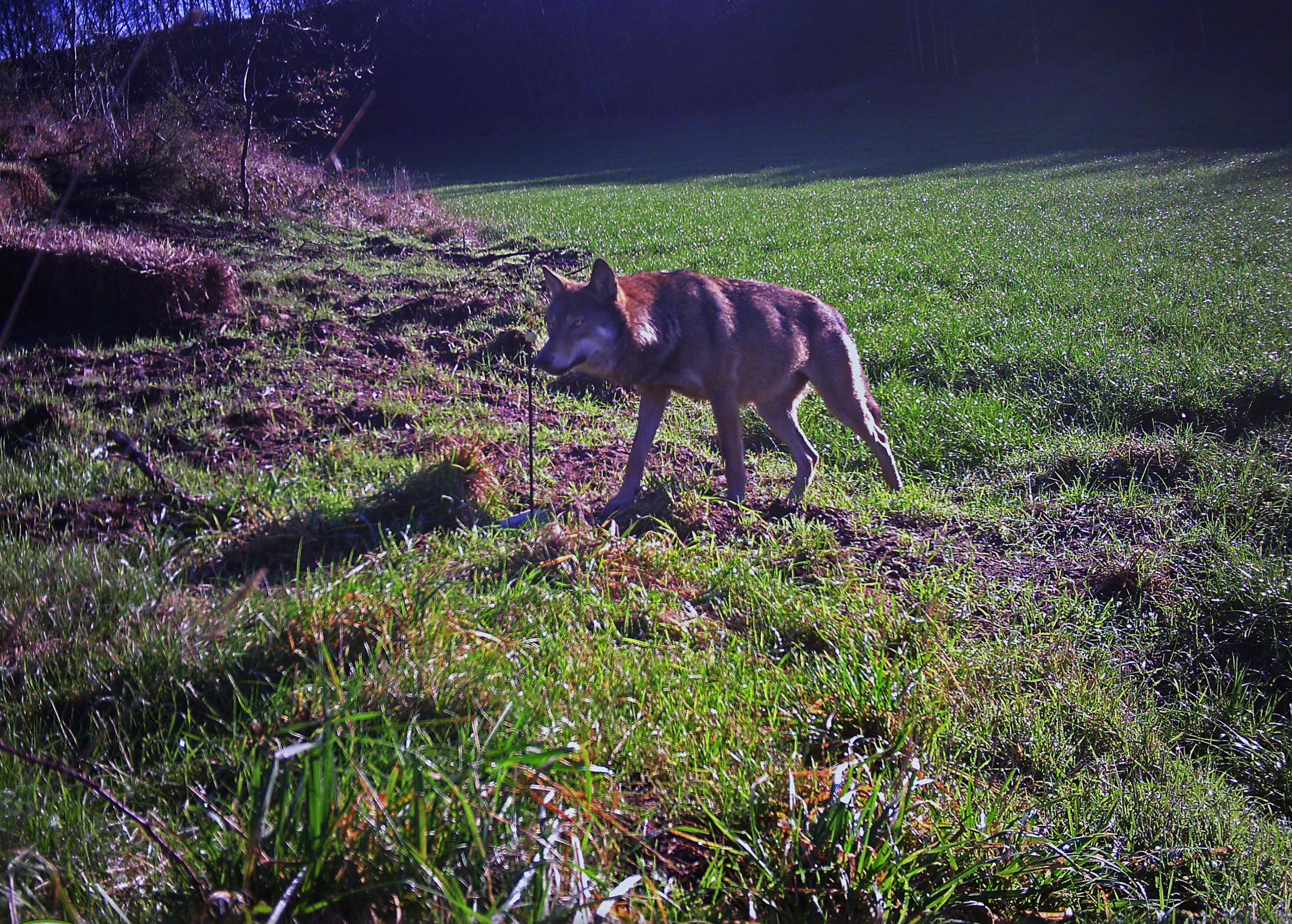 Den nordjyske ulv GW781m