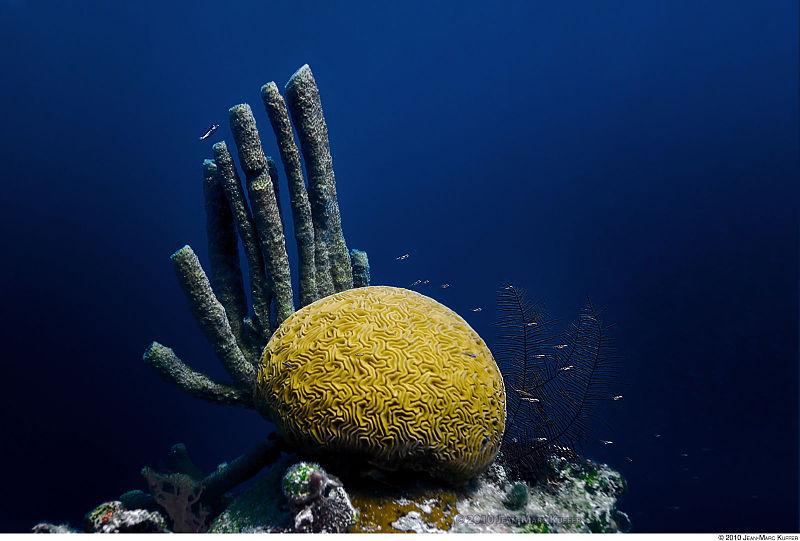 800px-brain_coral_belize.jpg