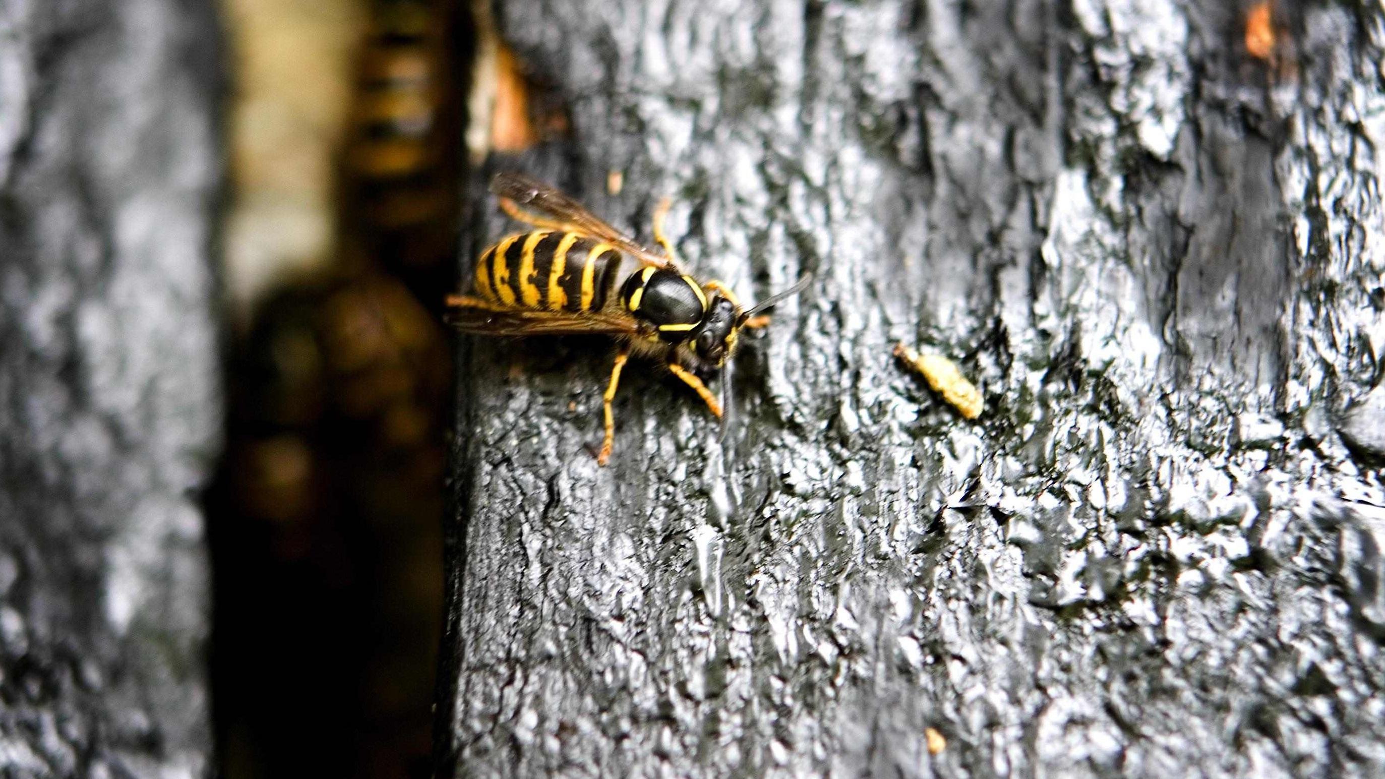 hvepse.jpg