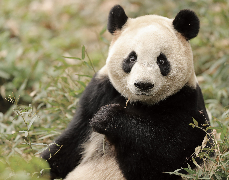 pandaer_til_koebenhavns_zoo._maosun-photo_by_zhang_zhihe_3.jpg