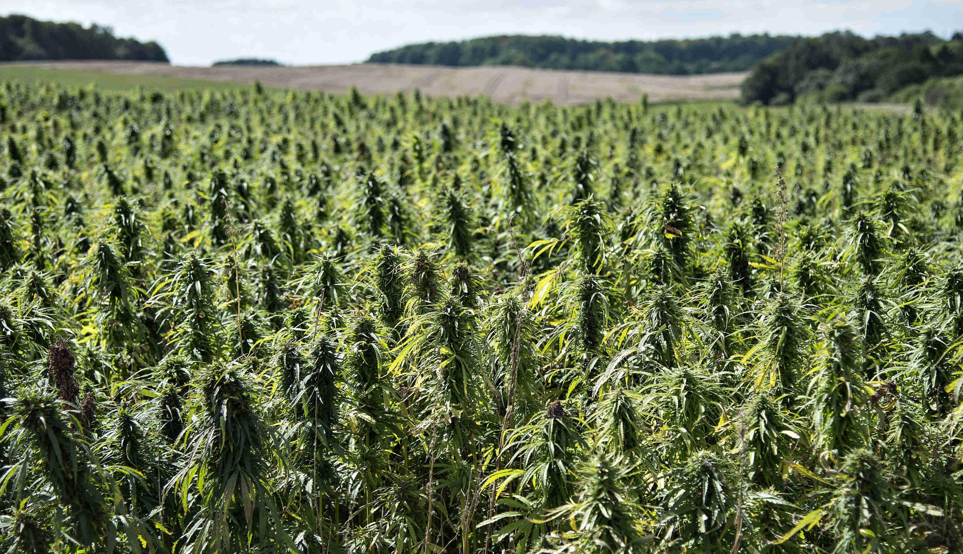 medicinsk_cannabis.jpg