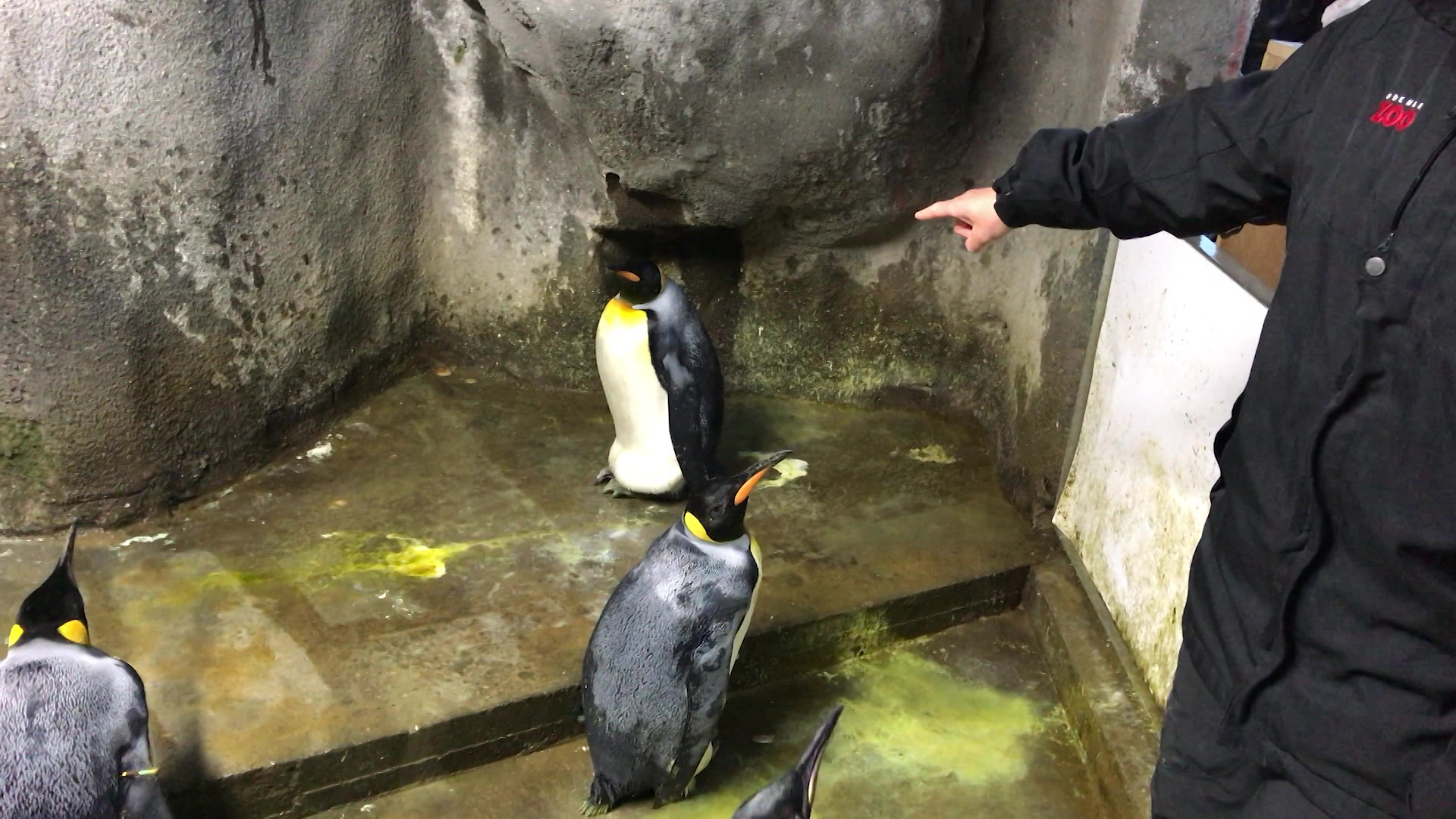 Homoseksuelle pingviner i Odense Zoo.jpg