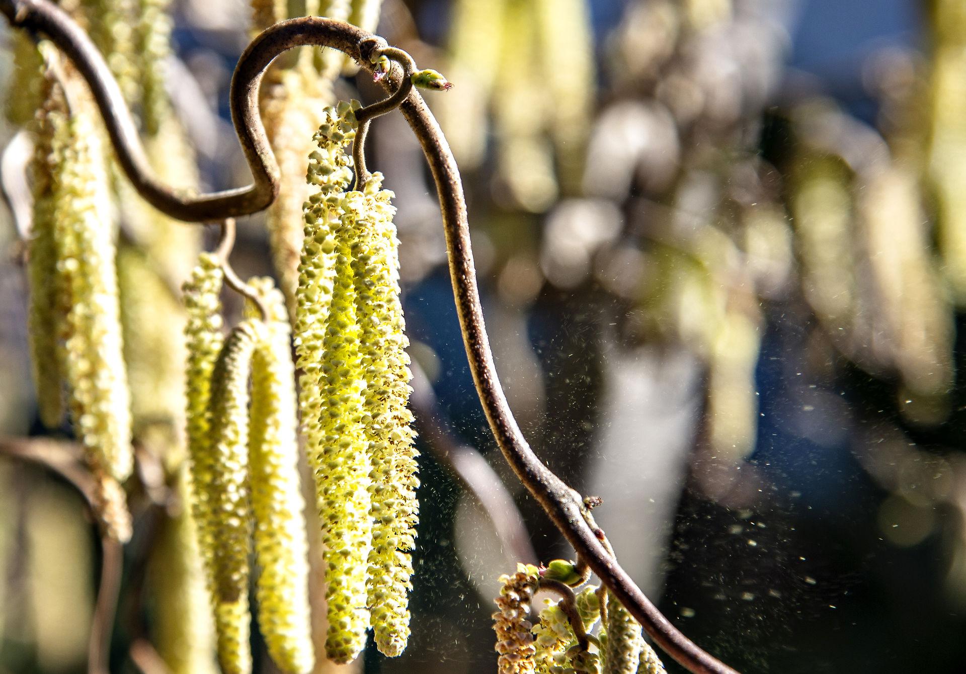 pollen_hassel_henning_bagger.jpg