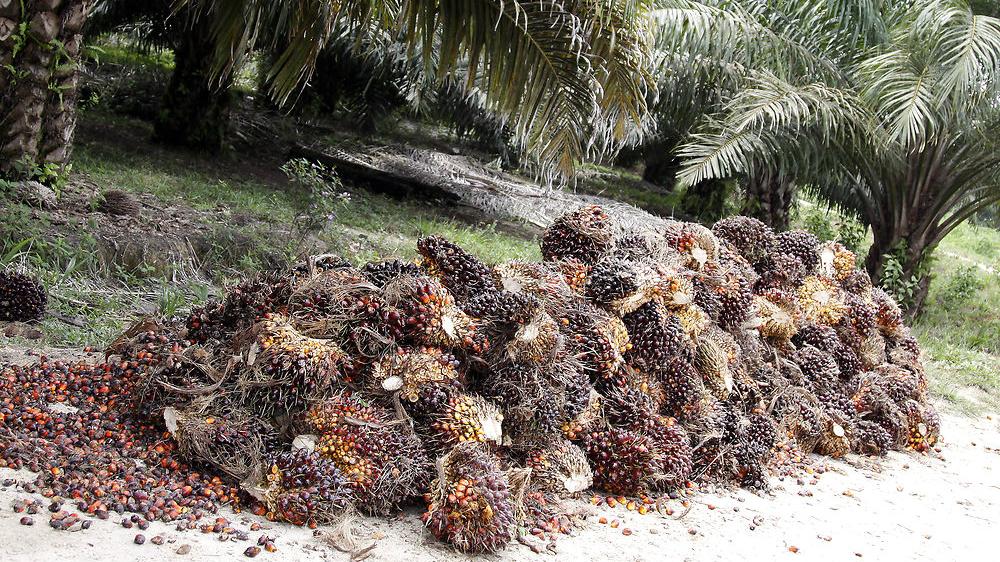Klimatestamentet - den onde palmeolie